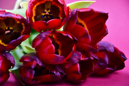 Beautiful bouquet of red tulips flowers close-up stock images. Bouquet of red tulips on a pink background stock photo. Purple-red tulips flower heads detail photo images
