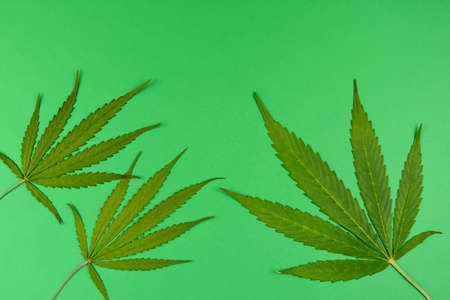 Cannabis leaves isolated on a green background top view stock images. Green marijuana cannabis leaves stock photo. Hemp leaves frame stock images