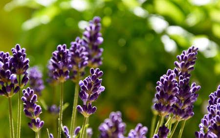 Beautiful fresh purple lavender plant detail stock images. Summer floral background. Flower bed with lavender images. Fragrant floral background
