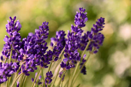 Beautiful fresh purple lavender plant detail stock images. Summer background with a bouquet of lavender. Flowerbed with fragrant lavender images. Provence floral decor background Imagens