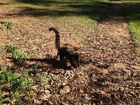 Coati in the jungle