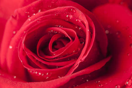 close-up of a rose with water drops. photo