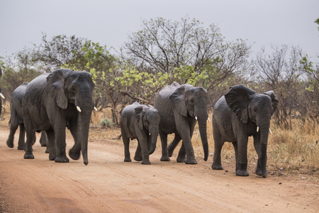 elephants walking on a road. South Africa. photo