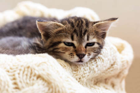 Brown striped kitty sleeps on knitted woolen beige plaid. Little cute fluffy cat. Cozy home.