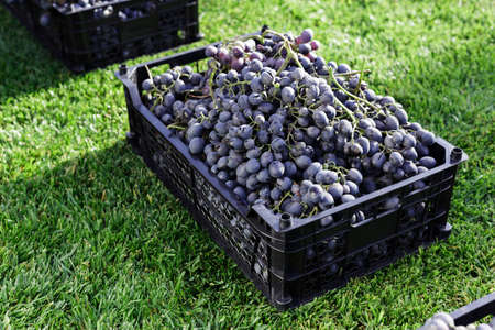 Baskets of Ripe bunches of black grapes outdoors. Autumn grapes harvest in vineyard on grass ready to delivere for wine making. Cabernet Sauvignon, Merlot, Pinot Noir, Sangiovese grape sort in boxes