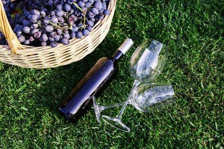Bottle, two glasses of red wine and basket of fresh grape harvest on lawn, green grass outside. Homemade wine making concept. Wine tasting in vineyard.Cabernet Sauvignon,Merlot, Pinot Noir,Sangiovese.