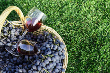 Two glasses of red wine in basket of fresh grapes harvest on lawn, green grass outside. Homemade wine making. Wine tasting in vineyard. Copy Space. Cabernet Sauvignon, Merlot, Pinot Noir, Sangiovese.