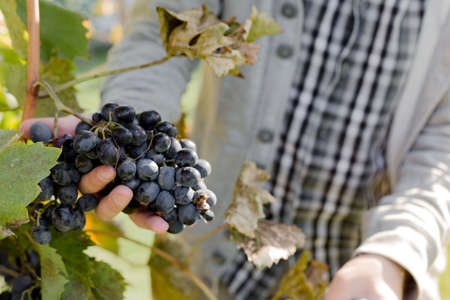 Man crop ripe bunch of black grapes on vine. Male hands picking Autumn grapes harvest for wine making In Vineyard. Cabernet Sauvignon, Merlot, Pinot Noir, Sangiovese grape sort