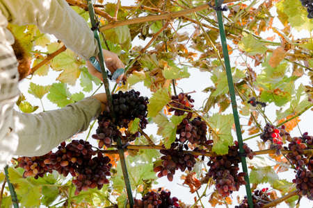 Man crop ripe bunch of red grapes on vine. Vintner man picking Autumn grapes harvest for food or wine making In Vineyard. Red Seedless Grapes grape sort Stock Photo