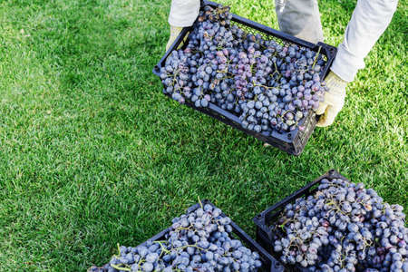 Man holds box of Ripe bunches of black grapes outdoors. Autumn grapes harvest in vineyard ready to delivery for wine making. Cabernet Sauvignon, Merlot, Pinot Noir, Sangiovese grape sort in basket