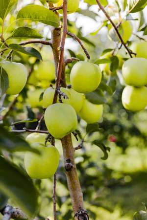 Beautiful tasty green apple on branch of apple tree in orchard. Autumn harvest in the garden outside. Village, rustic style. Copy space