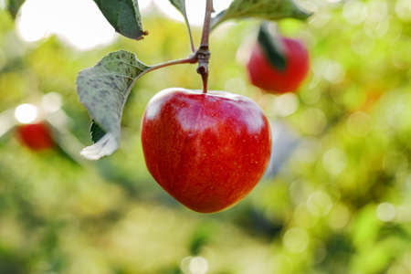Beautiful tasty red apple on branch of apple tree in orchard, harvesting. Autumn harvest in the garden outside. Village, rustic style