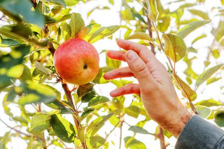 Male hand holds beautiful tasty green apple on branch of apple tree in orchard, harvesting. Autumn harvest in the garden outside. Village, rustic style