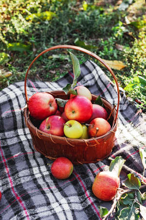 Healthy Organic red ripe Apples in the Basket. Autumn at the rural garden. Fresh apples in nature. Village, rustic style picnic. composition in the apple garden for natural apple juice Stock fotó