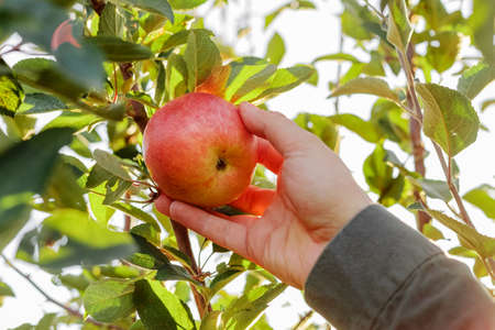 Male hand holds beautiful tasty red apple on branch of apple tree in orchard, harvesting. Autumn harvest in the garden outside. Village, rustic style.