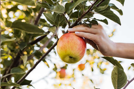 Female hand holds beautiful tasty red apple on branch of apple tree in orchard, harvesting. Autumn harvest in the garden outside. Village, rustic style. Stock fotó