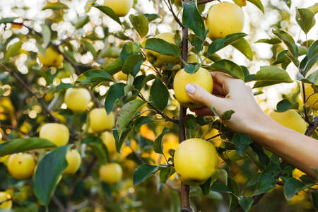 Female hand holds beautiful tasty green apple on branch of apple tree in orchard, harvesting. Autumn harvest in the garden outside. Village, rustic style.