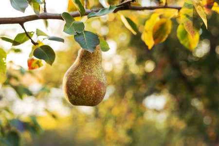 Beautiful fresh ripe pears hang on a branch in the orchard for food or juice. Eco, farm products. Autumn harvest at sunset.