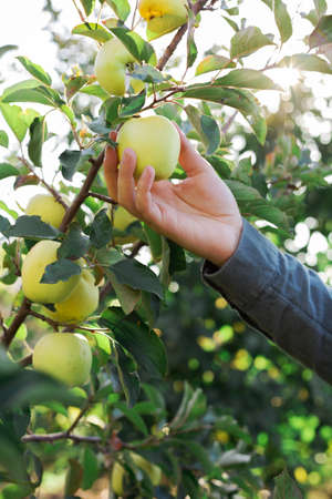 Male hand holds beautiful tasty green apple on branch of apple tree in orchard, harvesting. Autumn harvest in the garden outside. Village, rustic style.