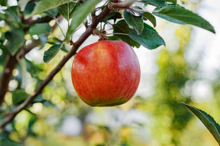 Beautiful tasty red apple on branch of apple tree in orchard, harvesting. Autumn harvest in the garden outside. Village, rustic style.
