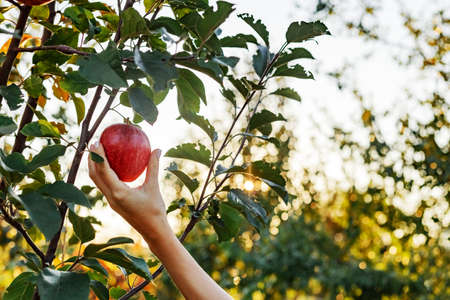 Female hand holds beautiful tasty red apple on branch of apple tree in orchard, harvestingfor food ore apple juice. Crop of apples in summer garden outside. Village, rustic style.