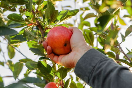 Male hand holds tasty red apple on branch of apple tree in orchard for food or apple juice. Autumn harvest in the garden outside. Village, rustic style. Stock fotó