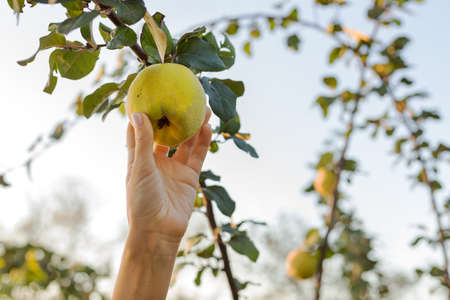 Female hand holds Fresh juicy tasty ripe quince fruit on branch of apple quince fruits tree in orchard for food or juice, harvesting. Crop of quince in summer garden outside. Eco, farm products.