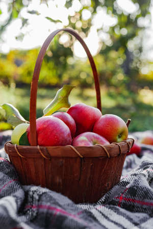 Healthy Organic red ripe Apples in the Basket. Autumn at the rural garden. Fresh apples in nature. Village, rustic style picnic. composition in the apple garden for natural apple juice.