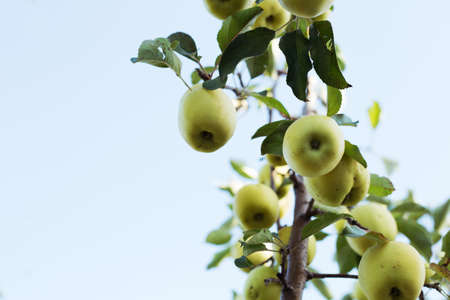 Beautiful tasty green apples on branch of apple tree in orchard against the sky. Autumn harvest in the garden outside. Village, rustic style. Copy space. Stock fotó