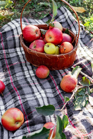 Healthy Organic red ripe Apples in the Basket. Autumn at the rural garden. Fresh apples in nature. Village, rustic style picnic. composition in the apple garden for natural apple juice or food. Stock fotó