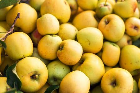 Fresh juicy golden green apples, natural background. Close Up of apples in box. Harvest, vitamins, vegetarians, fruits, crop . Organic gardening. Long-term storage of apples. Organic apples for food or juice. Stock fotó