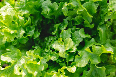 Lettuce leaves Planting in farmer's garden for food. Fresh green leaf lettuce plants grows in the open ground. Batavia, cos salad leaf background.