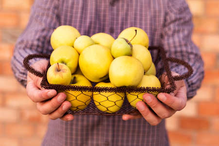 Fresh ripe organic golden yellow apples in a wooden basket in male hands. Autumn harvest of red apples for food or apple juice on a brick wall background outside. Harvesting fruits. Healthy food.