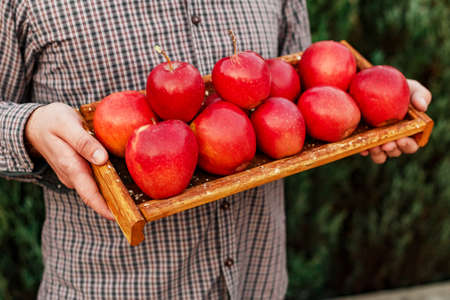 Fresh ripe organic red apples in a wooden box in male hands. Autumn harvest of red apples for food or apple juice on a garden background. Harvesting fruits. Healthy food Stock fotó