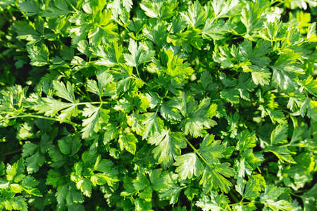 Parsley in farmers garden for food or medicine. Good green organic Parsley plants grows in the open ground. Young fragrant leaf growing. Parsley herb leaf background, harvest. top view