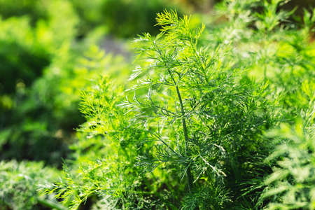 Good green organic dill in farmers garden for food.Young dill plants grows in the open ground. Fragrant dill leaf growing. Dill herb leaf background harvest
