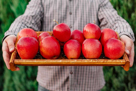 Fresh ripe organic red apples in a wooden box in male hands. Autumn harvest of red apples for food or apple juice on a garden background. Harvesting fruits. Healthy food.