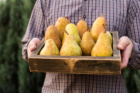 Fresh pears in male hands. Juicy flavorful pears in box, basket. Organic fruit for food or pear juice. Healthy food. Pear harvest