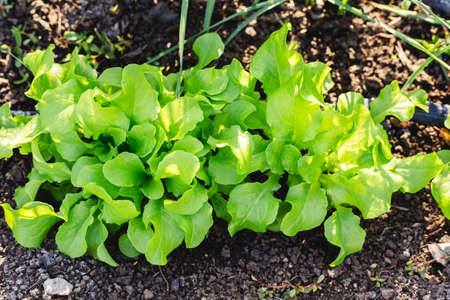 Lettuce leaves Planting in farmers garden for food. Healthy lettuce growing in the soil. Fresh green leaf lettuce plants grows in the open ground. Batavia, cos salad leaf background Stock fotó