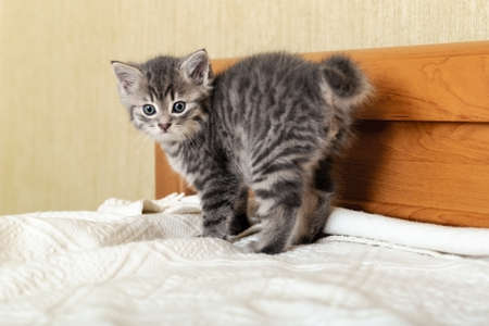 Cute tabby scared kitten standing on white plaid at home. Newborn kitten, Baby cat, Kid animal and cat concept. Domestic animal. Home pet. Cozy home cat, kitten. Copy space.