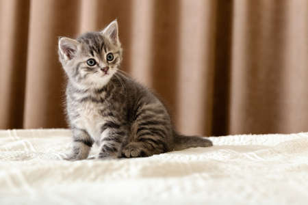 Cute tabby kitten sitting on white plaid at home. Newborn kitten, Baby cat, Kid animal and cat concept. Domestic animal. Home pet. Cozy home cat, kitten. Copy space. Stock fotó
