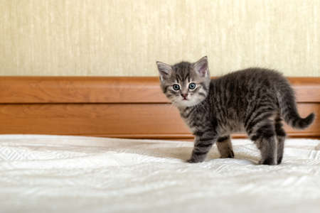Cute tabby kitten standing on white plaid at home. Newborn kitten, Baby cat, Kid animal and cat concept. Domestic animal. Home pet. Cozy home cat, kitten. Copy space. Stock fotó