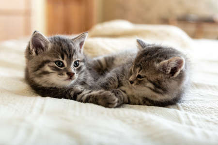 Cute tabby kitten sleeping, hugging, kissing on white paid at home. Newborn kitten, Baby cat, Kid animal and cat concept. Domestic animal. Home pet. Cozy home cat, kitten. Love.