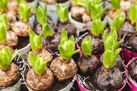 Hyazinthen wachsen in Töpfen. Hyazinthenzwiebeln mit frischen Blättern auf dem Bauernmarkt. Blumenzucht für Haus- und Gartendekoration im Winter und Frühling. Frühlingsknollenblumen in Blumenumpflanzung, Sämling