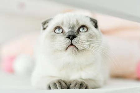 Biały szkocki zwisłouchy kot domowy leżący w łóżku. Piękny biały kotek. Portret szkockiego kotka o niebieskich oczach. Śliczny biały kotek kotek krotnie szare uszy. Przytulny dom. Kot zwierzę domowe. Zamknąć miejsce na kopię. Zdjęcie Seryjne