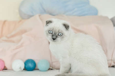 White Scottish fold domestic cat playing in bed with colorfull lights balloons. Beautiful white kitten. Portrait of Scottish kitten with blue eyes. Cozy home. Animal pet cat. Close up copy space.