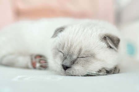 White Scottish fold domestic cat sleeping in white bed. Beautiful white kitten. Portrait of Scottish kitten. Cute white cat kitten fold grey ears. Cozy home. Animal pet cat. Close up copy space.
