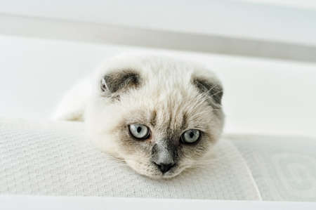 White Scottish fold domestic cat lying in bed. Beautiful white kitten. Portrait of Scottish kitten with blue eyes. Cute white cat kitten fold grey ears. Cozy home. Animal pet cat. Close up copy space.