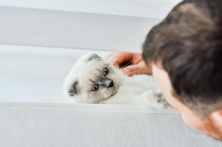 White Scottish fold domestic cat playing with owner at home in white bed. Beautiful white kitten. Portrait of Scottish kitten. Cute white cat kitten fold grey ears. Cozy home. Animal pet cat.Close up.