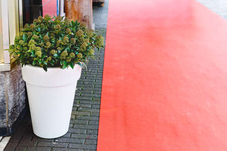 Skimmia Japonica Rubella flower with green leaves, berries in big white pot near building entrance and Red carpet. Stock photo flowers in the exterior with red copy space. Home gardening.